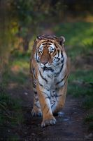 Botzman the Amur Tiger by linneaphoto