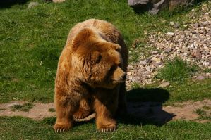 Bear III by expression-stock