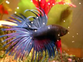 Crown Tail Betta Fish by The-Lioness