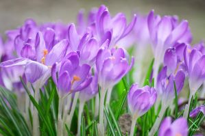 crocus by m3t4lh34d2666