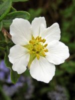 Potentilla Alba by iriscup