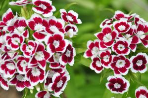 Red and White by fencingowlphotos