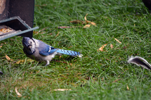 The Bluejay and the Feather by BridalWreath
