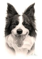 Commission - Border Collie 'Maggie May' by Captured-In-Pencil