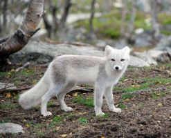 Arctic fox stock 17 by GrayeyesStock