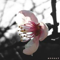 Pink by annou2