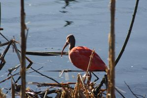 red ibis on nest by marob0501