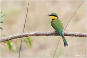 Little Bee Eater by KonikPolski