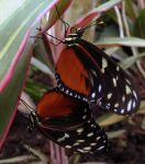 heliconius hecale coupling by Hedwigs-art
