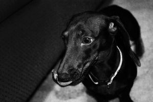 Dachshund Black and White by creynolds25