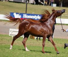 TW Arab chestnut canter head up lip extended by Chunga-Stock