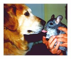 Chinchilla getting a Doggykiss by Villa-Chinchilla