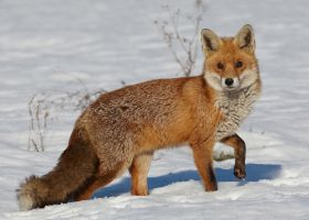 Red Fox by Albi748