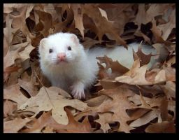 Ferrets of Autumn - Boris 4 by ShamanofShadows