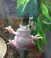 Gizmo the Tree Frog 13 by devonette