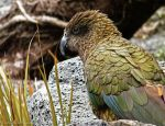 Lovely Kea by Key-Feathers