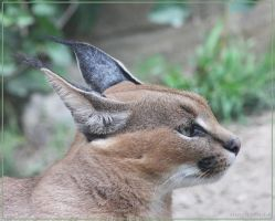 Caracal 7 by Globaludodesign