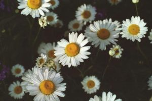 Daisys by gotmyphilosophy