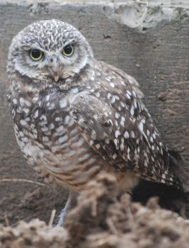 Burrowing Owl 01 by ManitouWolf