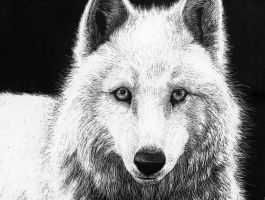 White Wolf Scratchboard by Lynxclaw