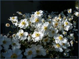 Japanese Anemones white by Lupsiberg