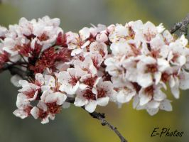Plum Tree Blooms by envanatta42
