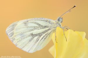 Pieris by patrykcyk