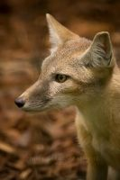 Young Corsac Fox II by darkcalypso