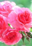 Beautiful Pink Roses from My Garden by theresahelmer