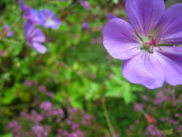 Johnson's Blue Geraniums by Sing-Down-The-Moon