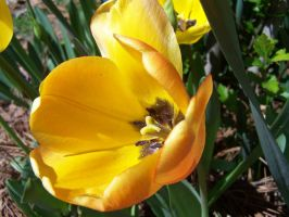 Yellow Tulip by tobilou
