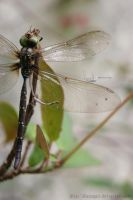 dragonflies IV by dianapple