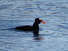 Surf Scoter Swimming by wolfwings1