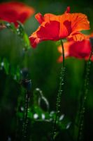 Red Summer by adrianbilescu