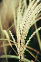 Lone Wheat by Fwee4