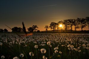 Dendelions in the sunset. by Tirer