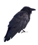 Scabby Old Crow PNG.. by Alz-Stock-and-Art