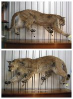 Mountain Lion by WeirdCityTaxidermy