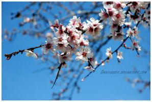 Almond tree flowers by dancingelf
