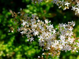 White-flowered Stonecrop by Caloxort
