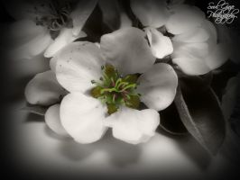 Pear Blossom 2 by GothicAmethyst