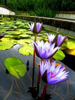 Lillypads by starsandstereos