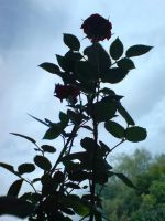 Rose Plant1 by evilminky666