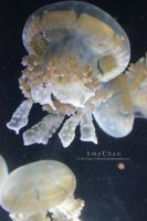 Common Lagoon Jellyfish by Beloved-chan