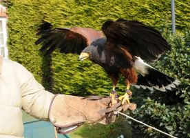 Harris Hawk Stock 11 by LRG-Photography