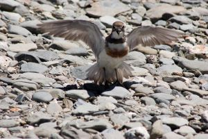 NZ Bird front on wings out motion blur by Chunga-Stock