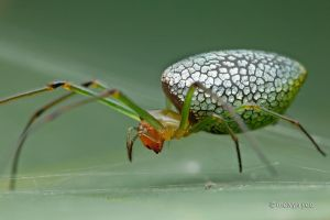 Sliver plated Long Jawed Orb Weaver Spider by melvynyeo