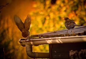 Autumn Birds by WinonaPhotographie