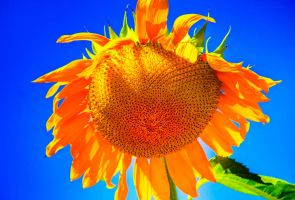 Sunflower by SharpPhotoStudio