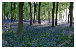 Bluebells I 2010 by SylvesterBvB